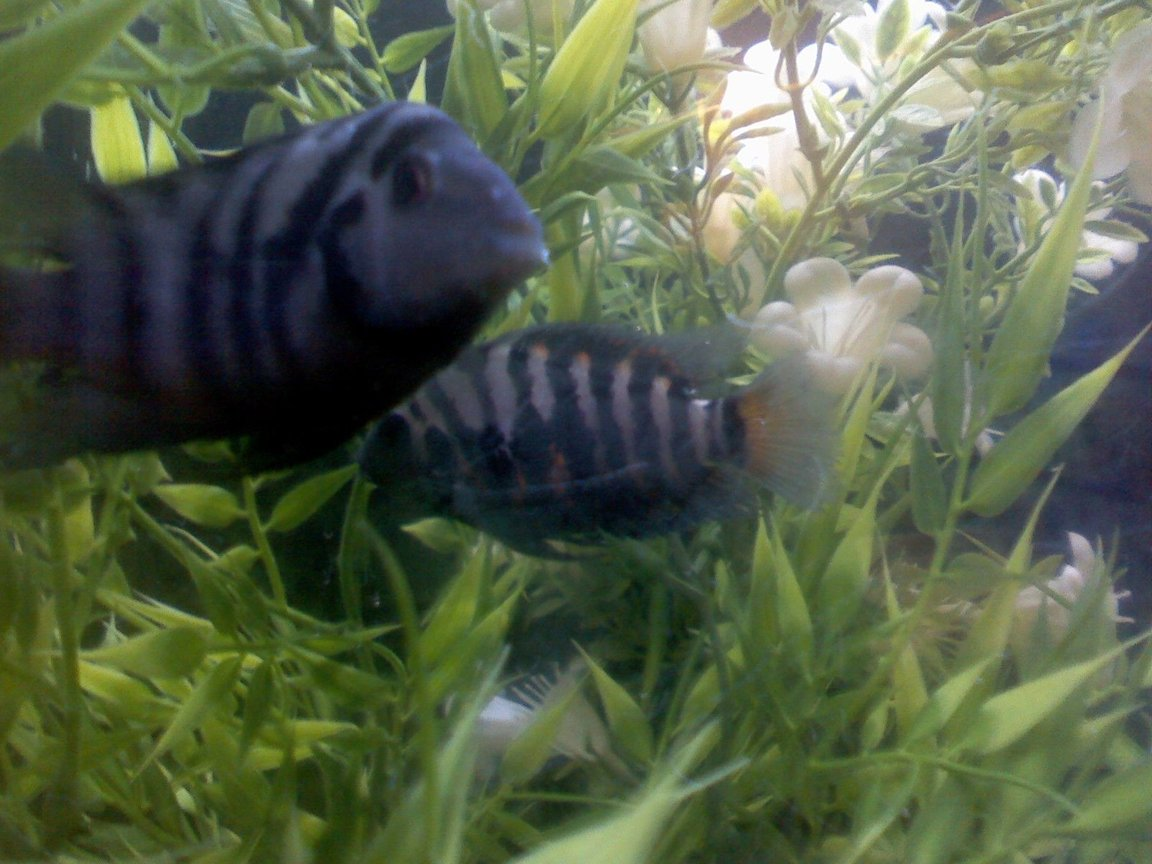 freshwater fish - nandopsis salvini - salvini cichlid stocking in 60 gallons tank - THEY REALLY LOVE EACH OTHER