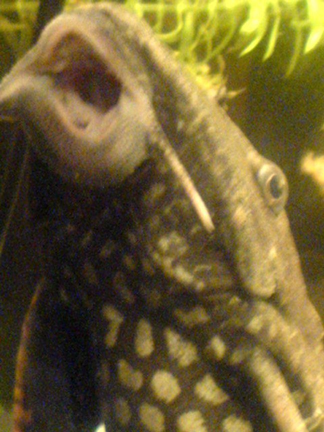 freshwater fish - glyptoperichthys gibbiceps - sailfin pleco (l-83) stocking in 200 gallons tank - my large pleco up close