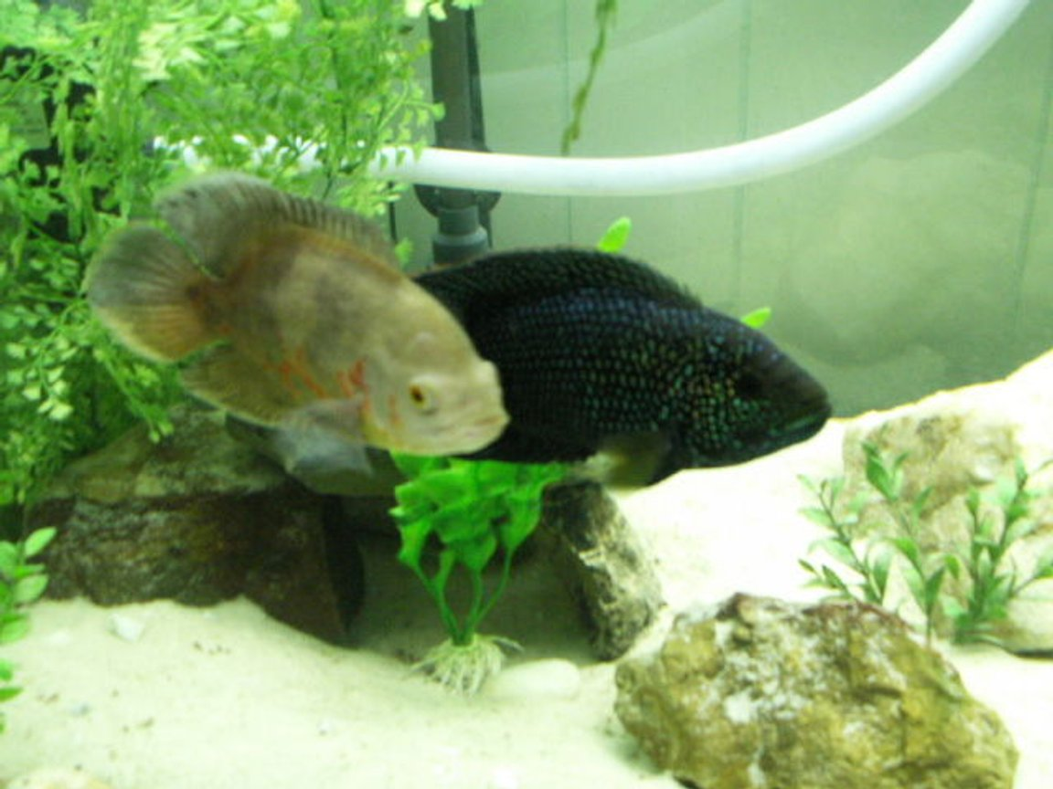 freshwater fish - astronotus ocellatus - albino oscar stocking in 75 gallons tank - 1 yr old Jack Dempsey and Oscar