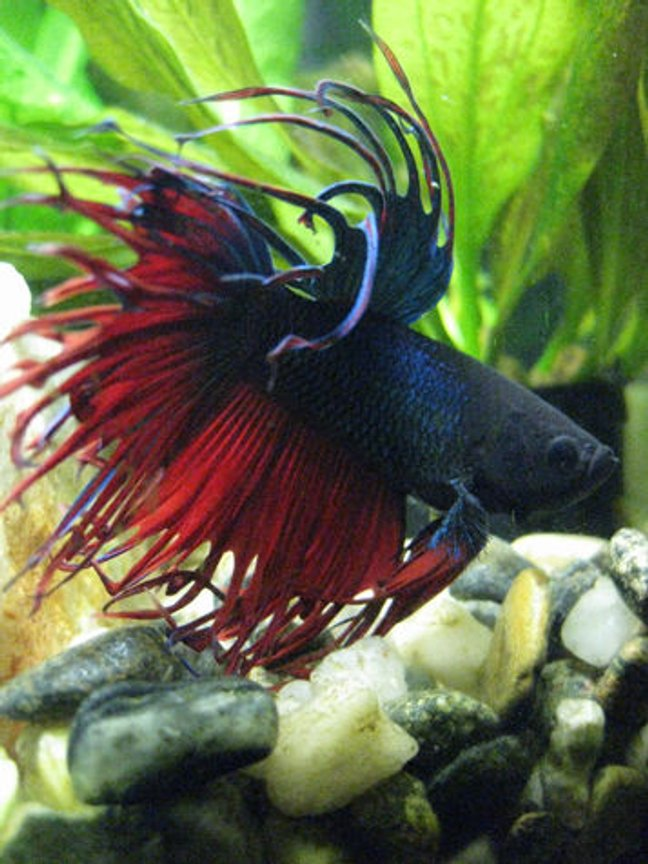 freshwater fish - betta splendens - crown tail betta stocking in 55 gallons tank - Piet, in a moment of meditative repose. :-)