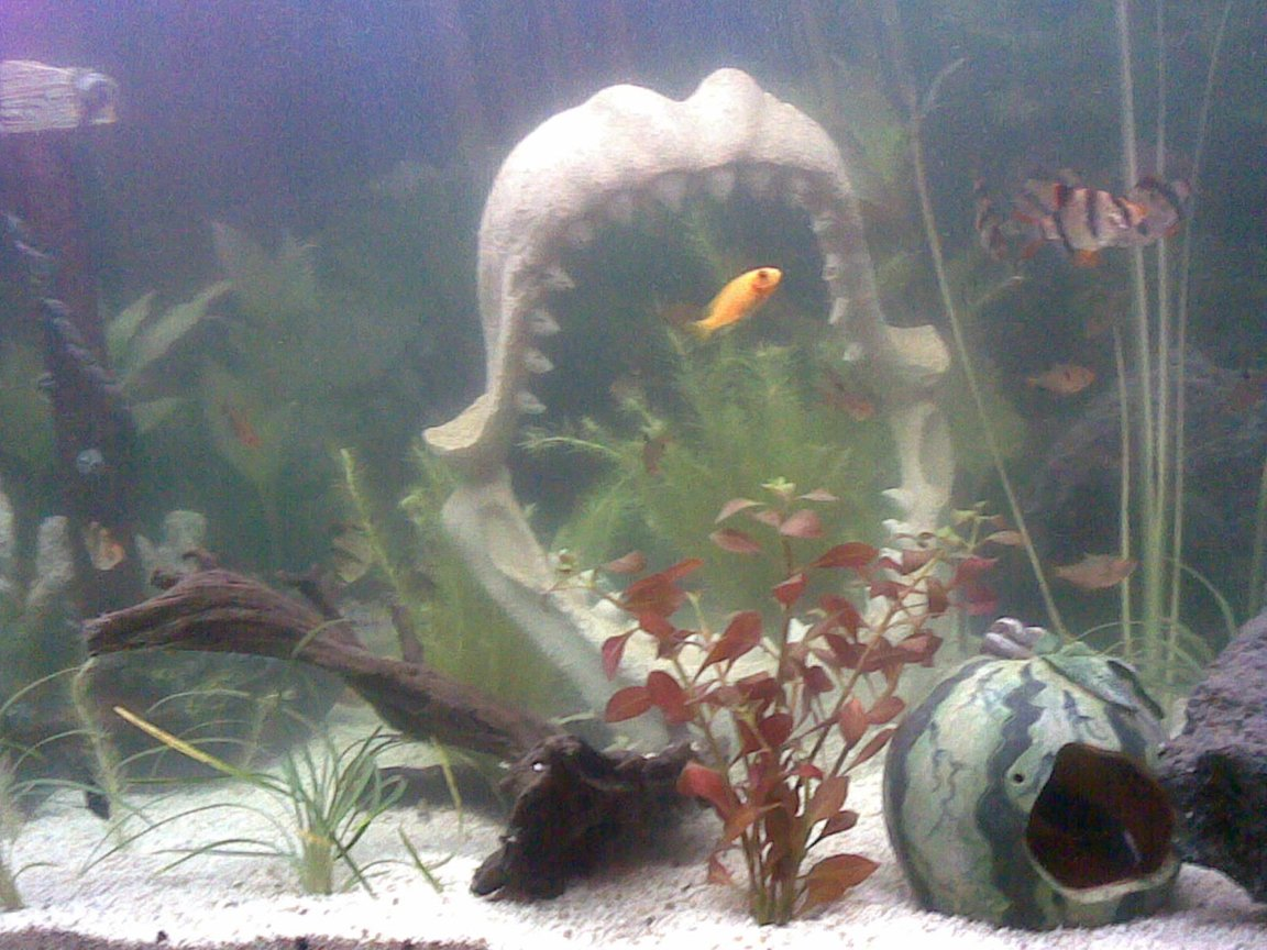 freshwater fish - puntius tetrazona - tiger barb stocking in 100 gallons tank - FISH