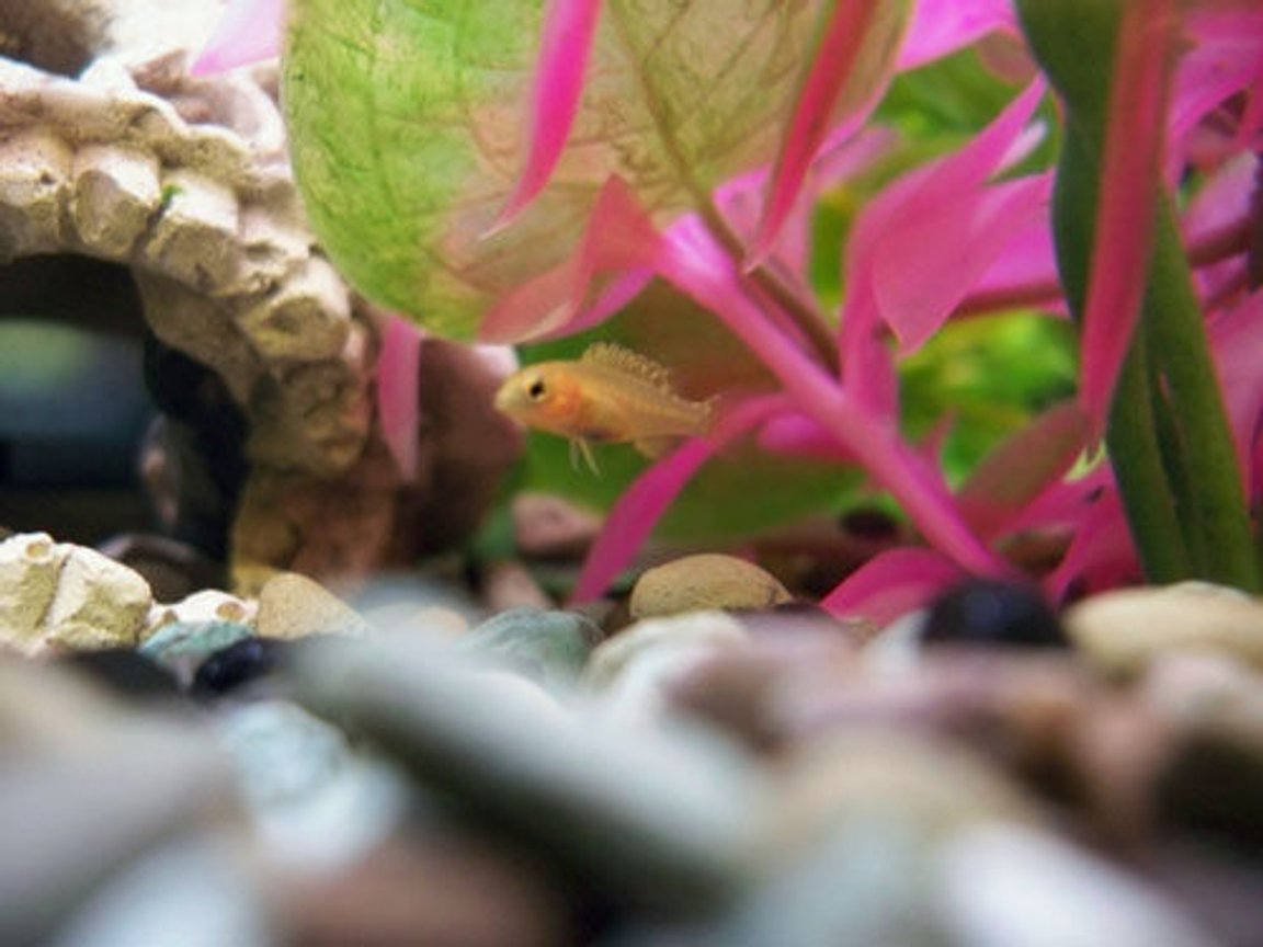 freshwater fish stocking in 50 gallons tank - one of the baby cichlids