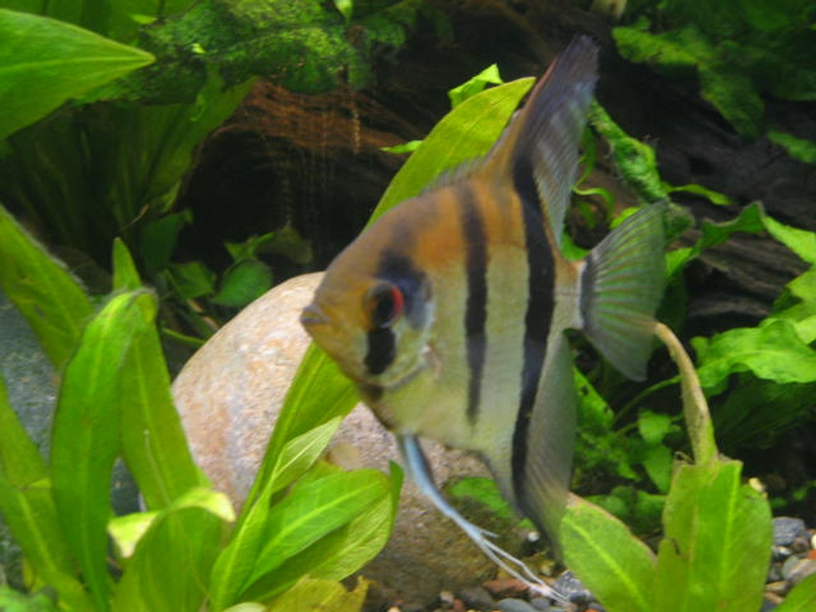 freshwater fish - pterophyllum sp. - angel stocking in 55 gallons tank - angle