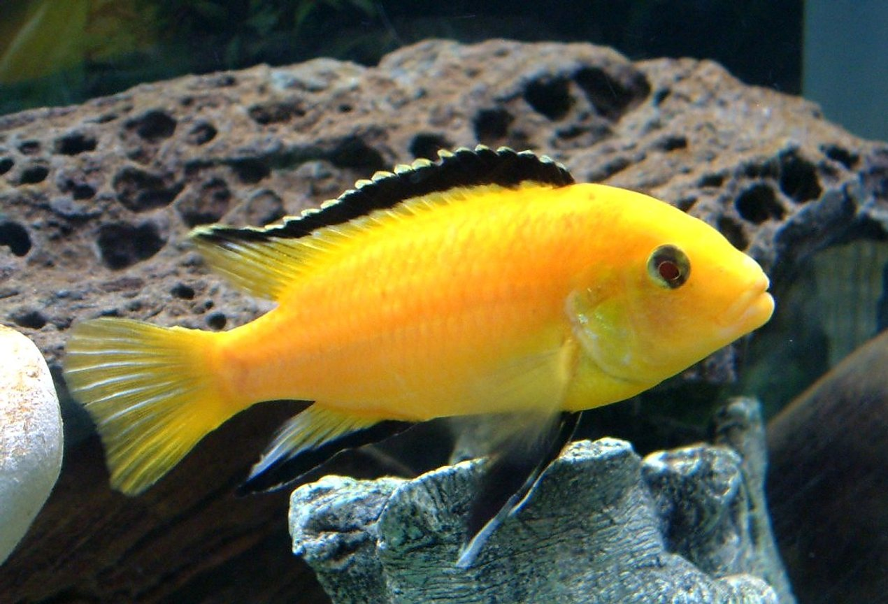 freshwater fish - labidochromis caeruleus - electric yellow cichlid stocking in 55 gallons tank - One of my Yellow Lab.