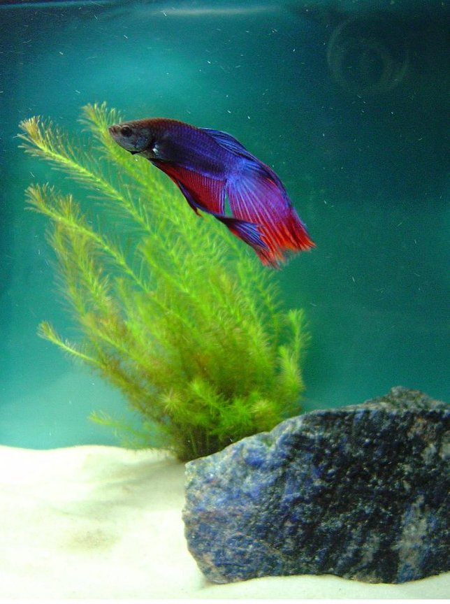 freshwater fish - betta splendens - betta - male stocking in 10 gallons tank - Beta Includes a Rotala Wallichii plant in a 5 gallon tank.