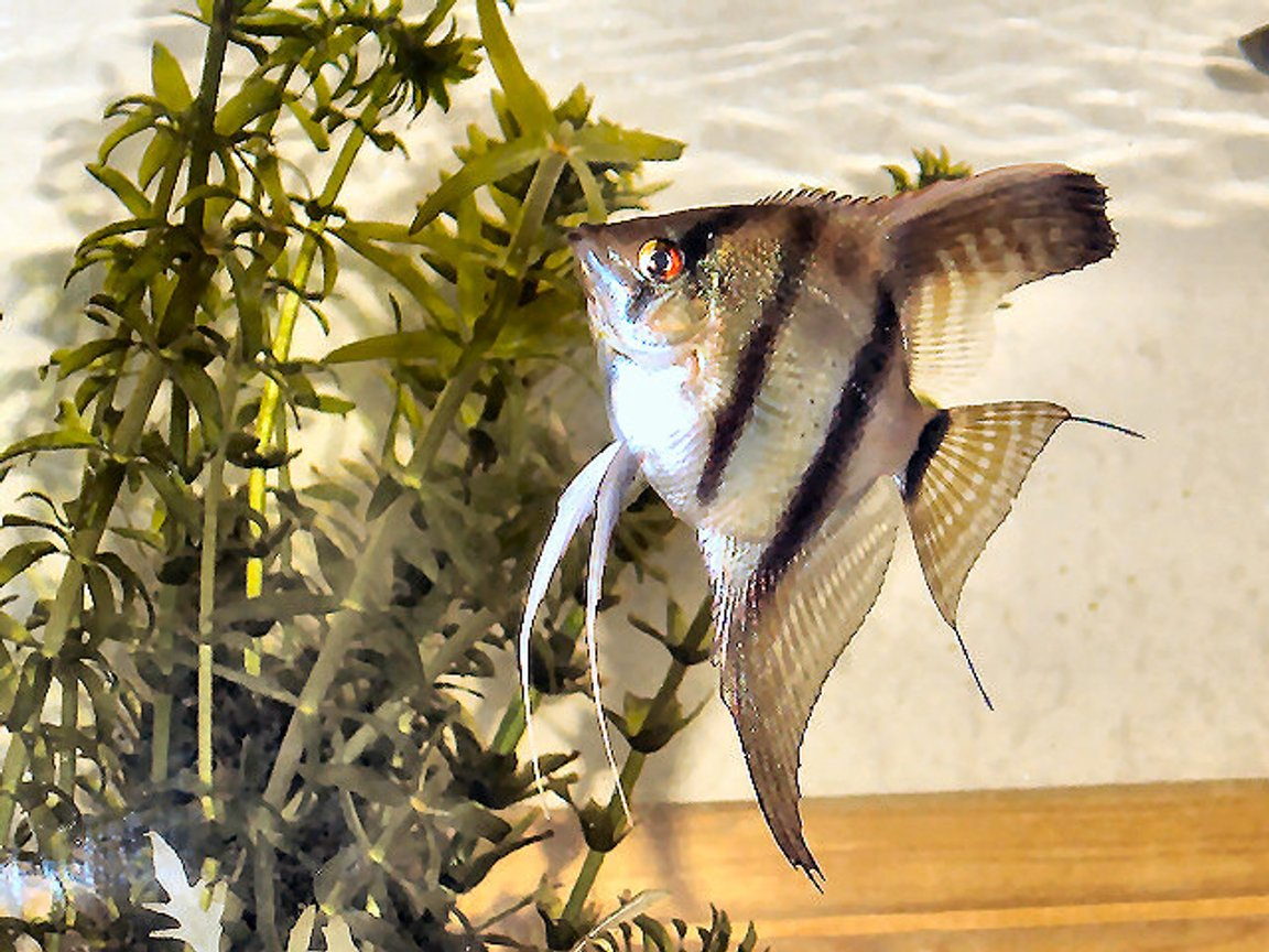 freshwater fish - pterophyllum scalare - angelfish stocking in 20 gallons tank - Yet the same fish different picture!