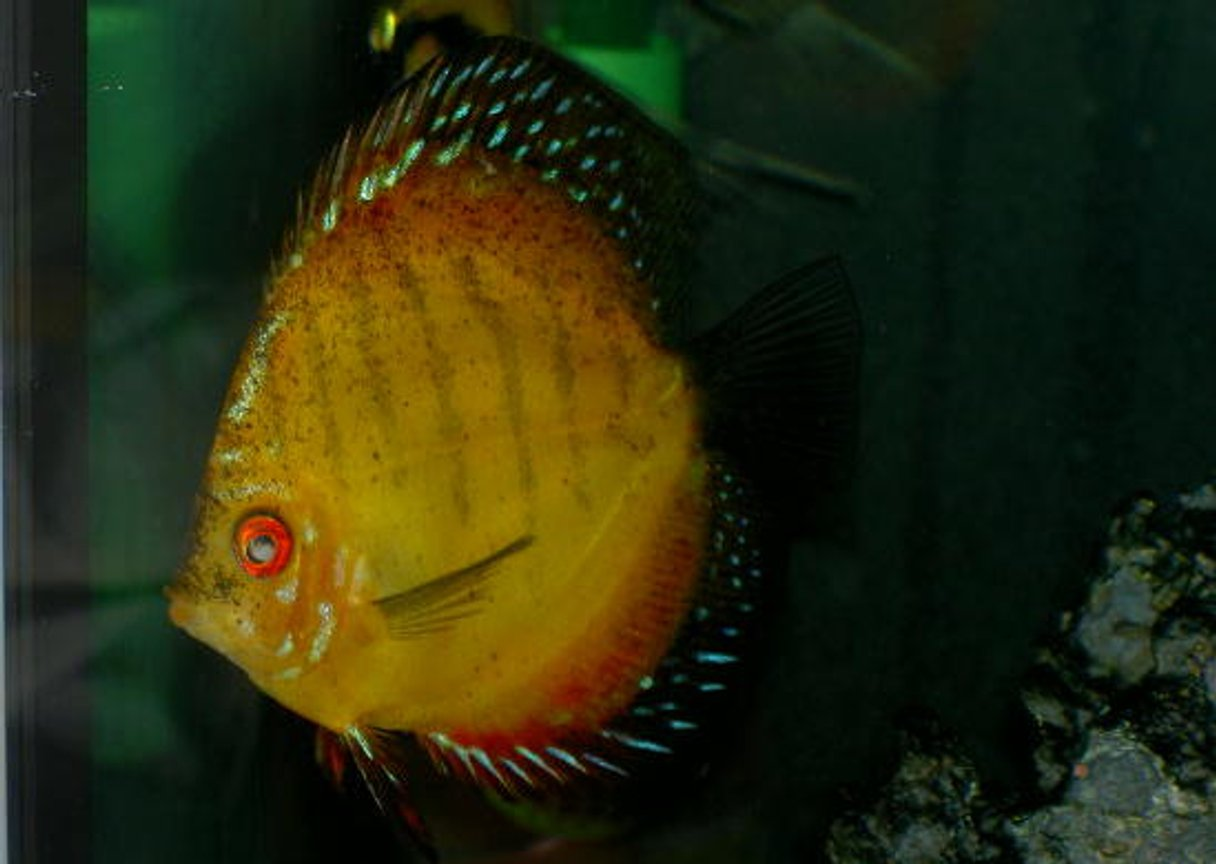 freshwater fish - symphysodon sp. - royal red discus stocking in 46 gallons tank - One Really big Discus