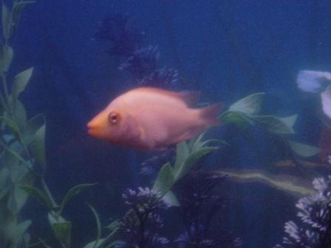 freshwater fish - helostoma temmincki - kissing gourami stocking in 55 gallons tank - more fish