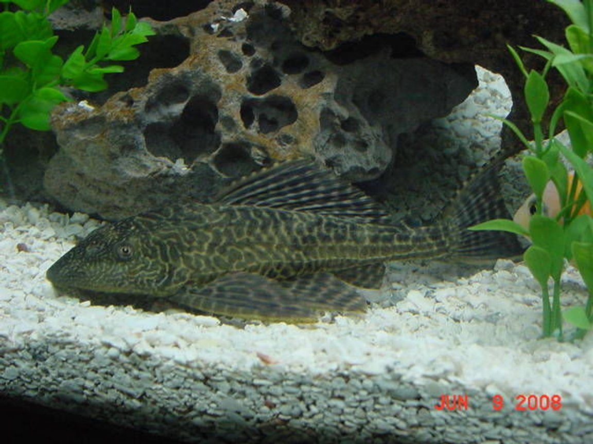 freshwater fish - hypostomus punctatus - trinidad pleco stocking in 75 gallons tank - Pleco Chilling on the Bottom