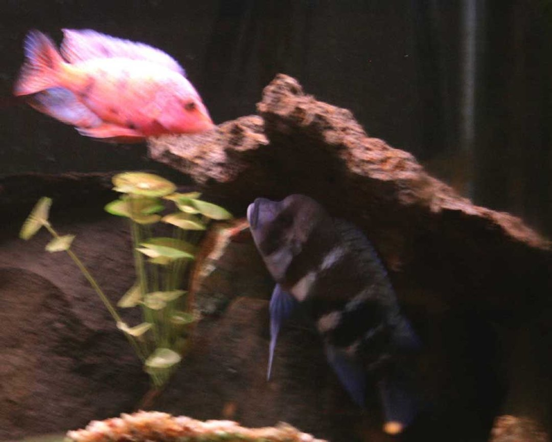 freshwater fish - cyphotilapia frontosa - frontosa cichlid stocking in 90 gallons tank - The frontosa won the cave fight.