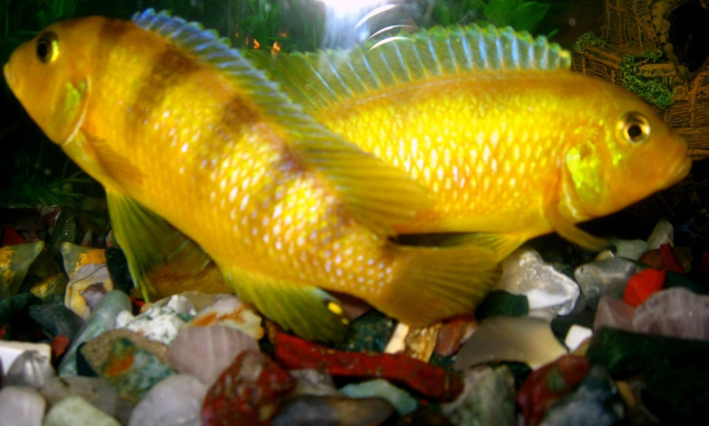 freshwater fish - labidochromis caeruleus - electric yellow cichlid stocking in 50 gallons tank - Male yellow Mbuna: Both had grown very big and had become terror for other fishes. Had to give them away.
