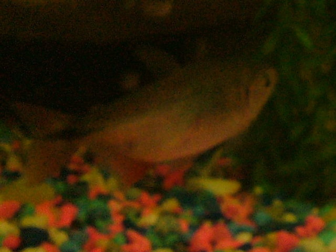 freshwater fish - piaractus brachypomum - red belly pacu stocking in 75 gallons tank - grr