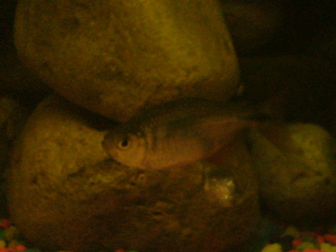 freshwater fish - piaractus brachypomum - red belly pacu stocking in 75 gallons tank - gtttt