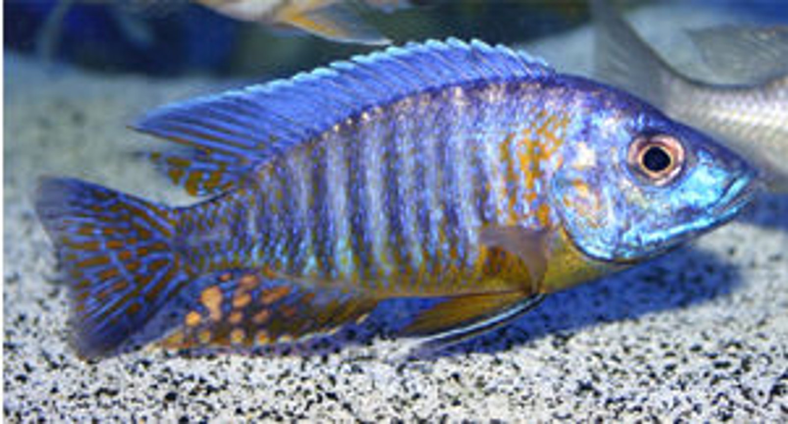 freshwater fish - aulonocara korneliae - orange shoulder peacock stocking in 90 gallons tank - Aulonocara korneliae