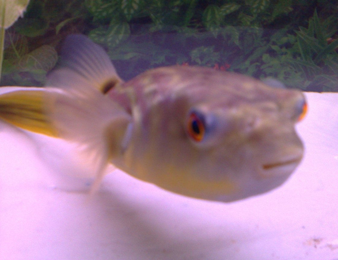 freshwater fish - carinotetraodon travancoricus - dwarf puffer stocking in 46 gallons tank - Another look at my PUFFER