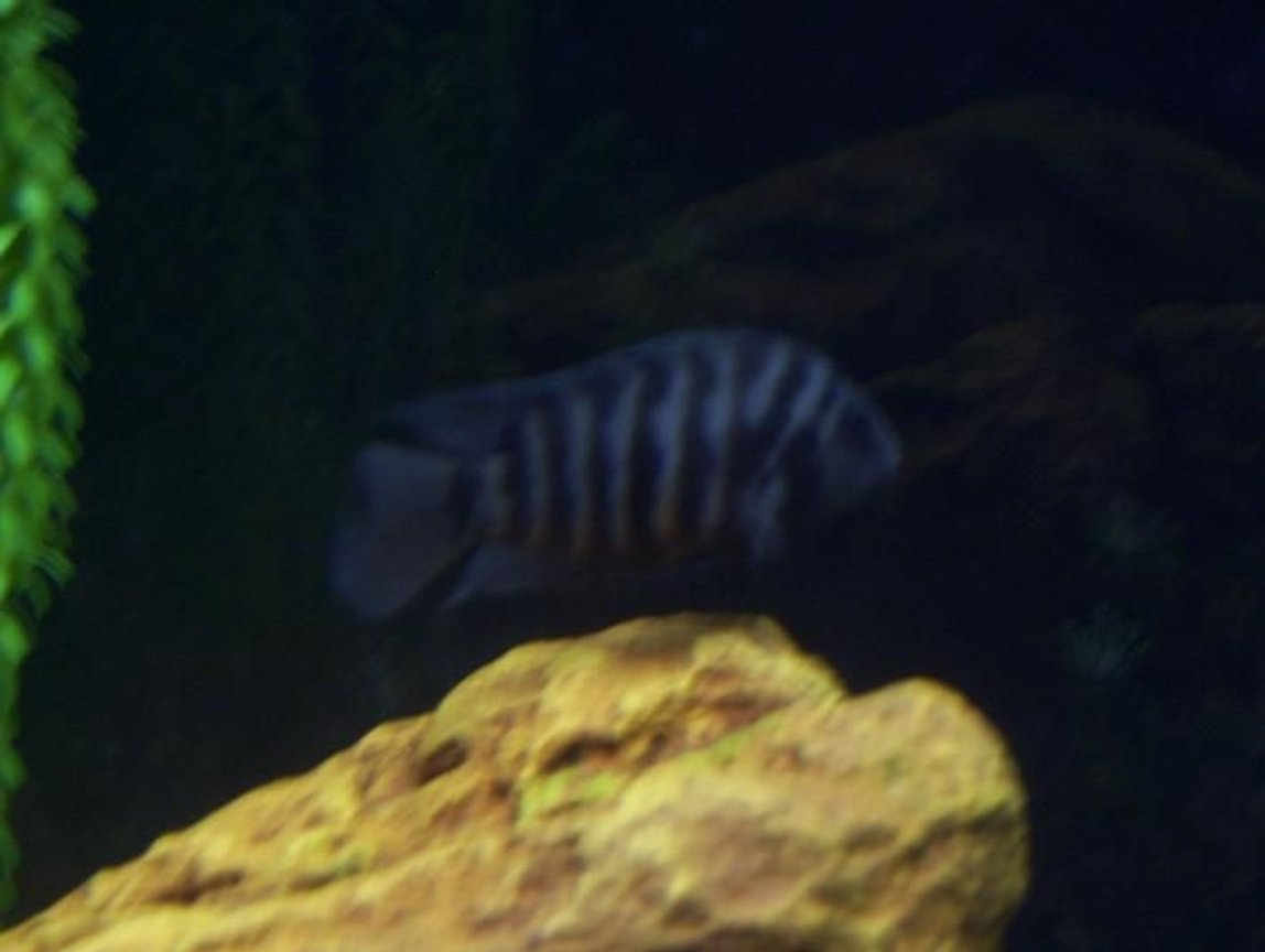 "freshwater fish - archocentrus nigrofasciatus - black convict cichlid stocking in 75 gallons tank - 4"" convict"