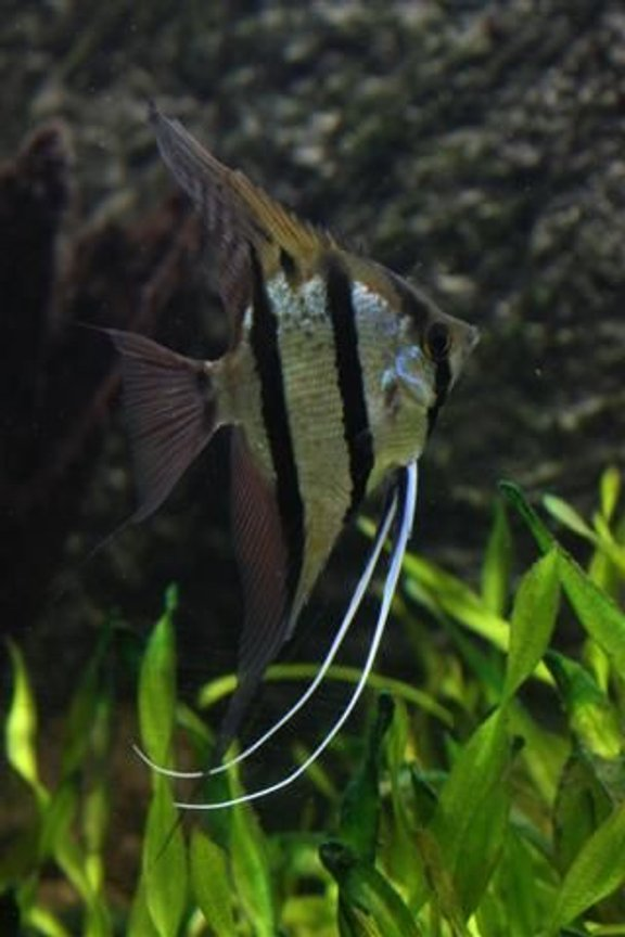 freshwater fish - pterophyllum scalare - angelfish stocking in 350 gallons tank - Angel Fish (wild) from tefe