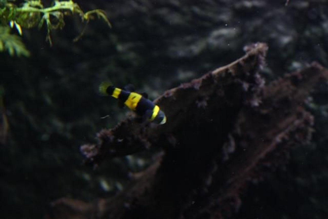 freshwater fish - brachygobius doriae - bumble bee goby stocking in 350 gallons tank - bumble beegoby