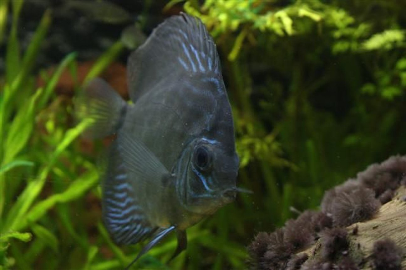 freshwater fish - symphysodon aequifasciata - royal blue discus stocking in 350 gallons tank - Discus Fish