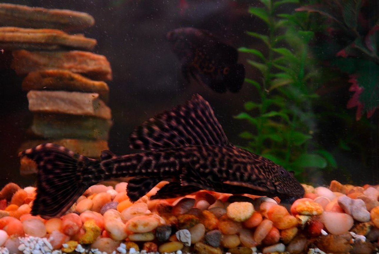 "freshwater fish - hypostomus plecostomus - common pleco stocking in 50 gallons tank - Nathan Explosion the 8"" Common Pleco"