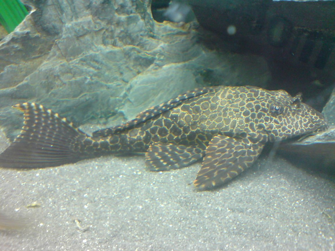 freshwater fish - glyptoperichthys gibbiceps - sailfin pleco (l-83) stocking in 64 gallons tank - Sailfin Plec