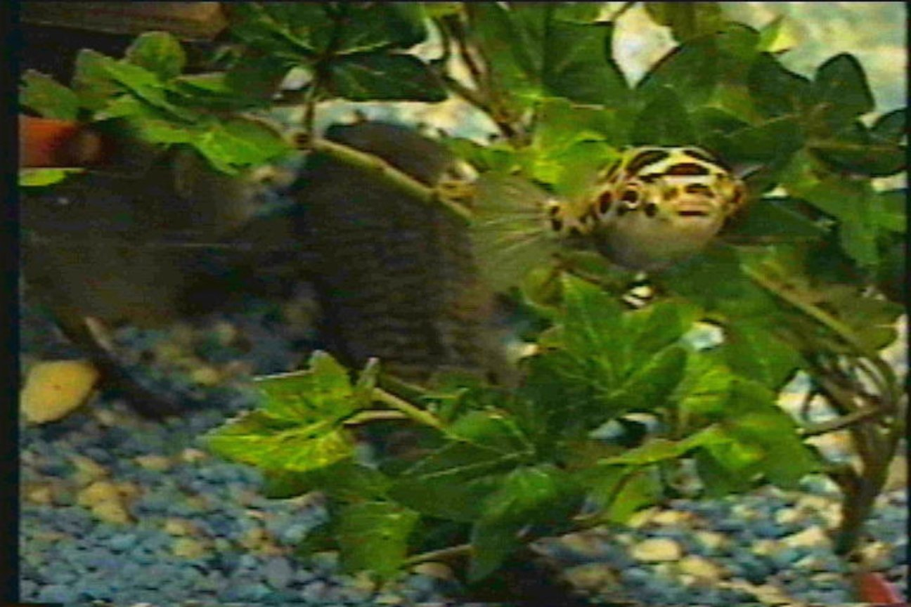 freshwater fish - tetraodon nigroviridis - green spotted puffer stocking in 125 gallons tank - Green spotted puffer and plecostomus