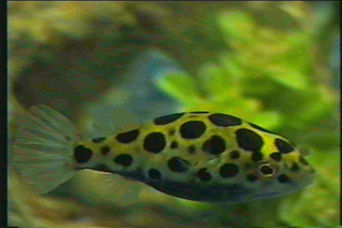 freshwater fish - tetraodon nigroviridis - green spotted puffer stocking in 125 gallons tank - Puffer