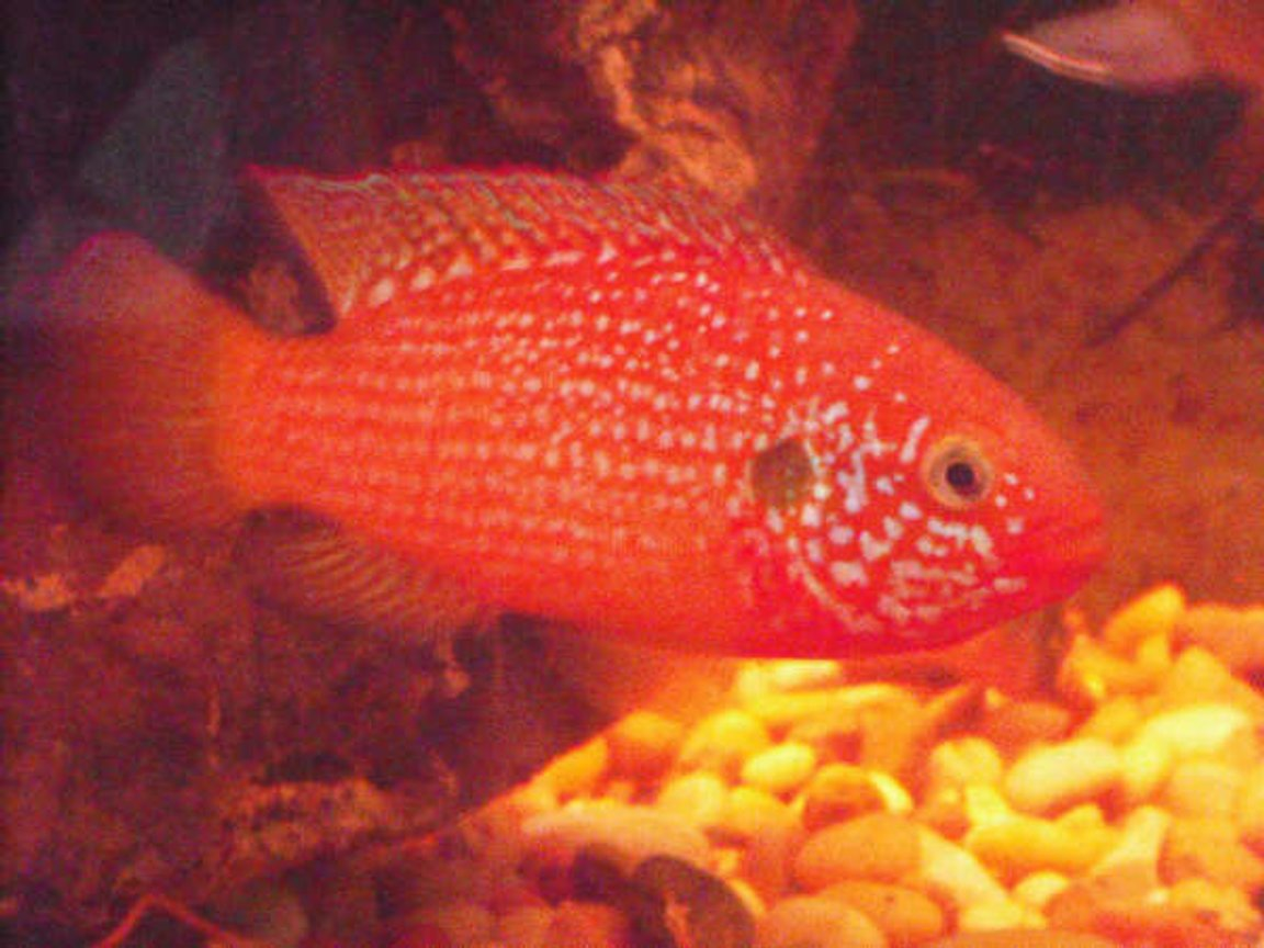 freshwater fish - hemichromis bimaculatus - jewel cichlid stocking in 230 gallons tank - My Red Jewel. what do you think?