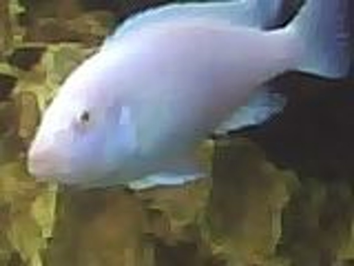 freshwater fish - sciaenochromis fryeri albino - albino electric blue cichlid stocking in 60 gallons tank - snow white
