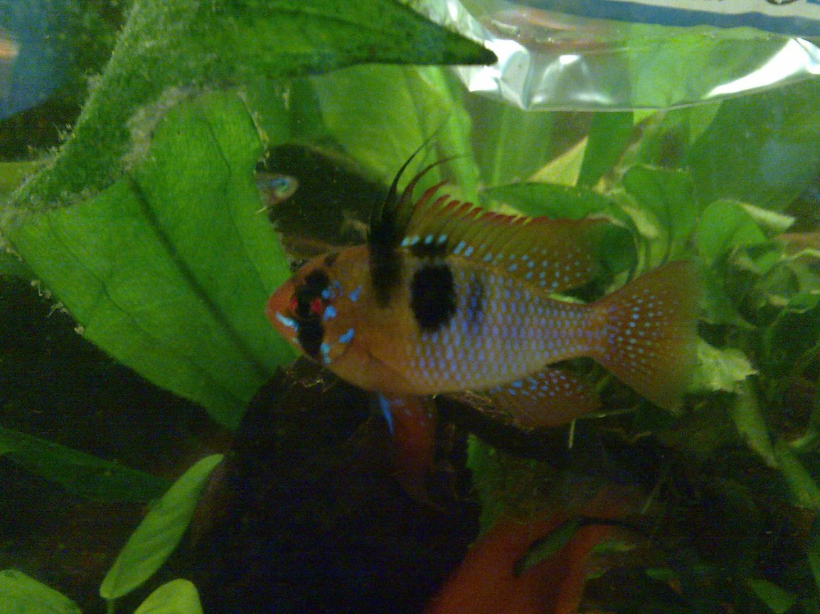 freshwater fish - papiliochromis ramirezi - german blue ram stocking in 59 gallons tank - Mikrogeophagus ramirezi