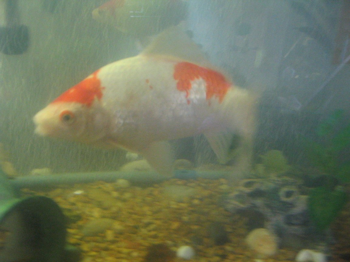 freshwater fish - carassius auratus - goldfish stocking in 55 gallons tank - whitie a very large goldfish