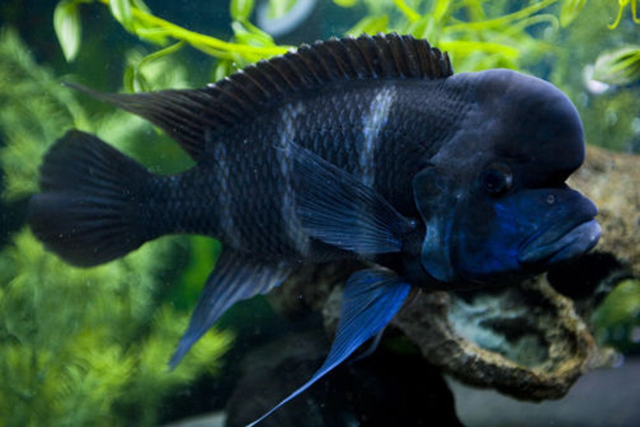 freshwater fish - cyphotilapia frontosa - frontosa cichlid stocking in 150 gallons tank - Frontosa