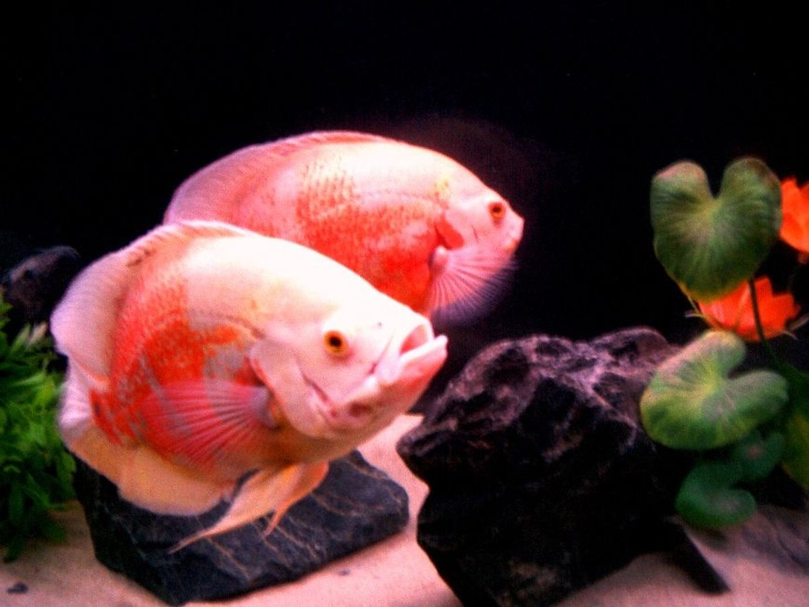 "freshwater fish - astronotus ocellatus - albino tiger oscar stocking in 135 gallons tank - Albino Tiger Oscars (about 12"") ""Bonnie and Clyde"""