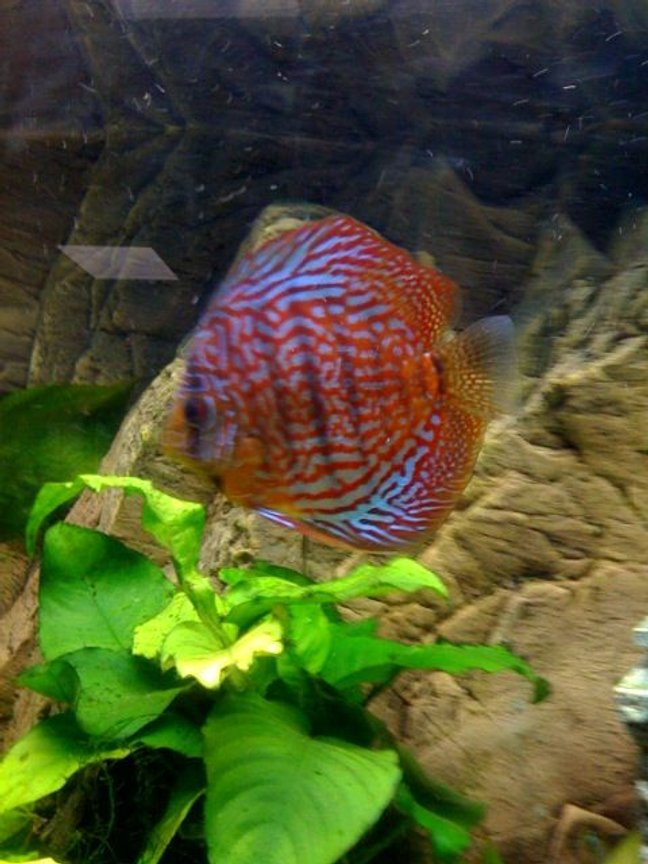 freshwater fish - symphysodon spp. - red turquoise discus stocking in 75 gallons tank - Red Turk