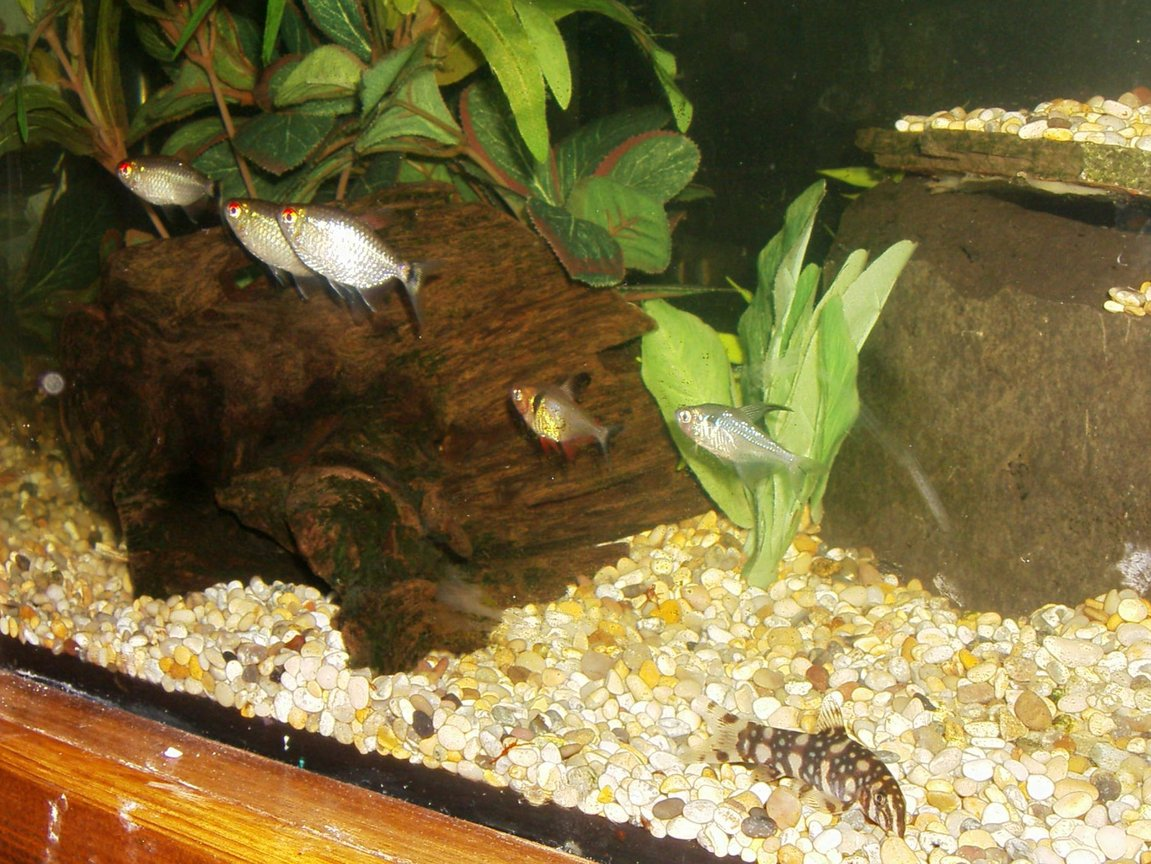 freshwater fish - moenkhausia sanctaefilomene - red eye tetra stocking in 90 gallons tank - SOME OF THE GANG 3 RED EYED TETRA'S & 2 PHANTOM TETRA'S AND A YOYO LOACH