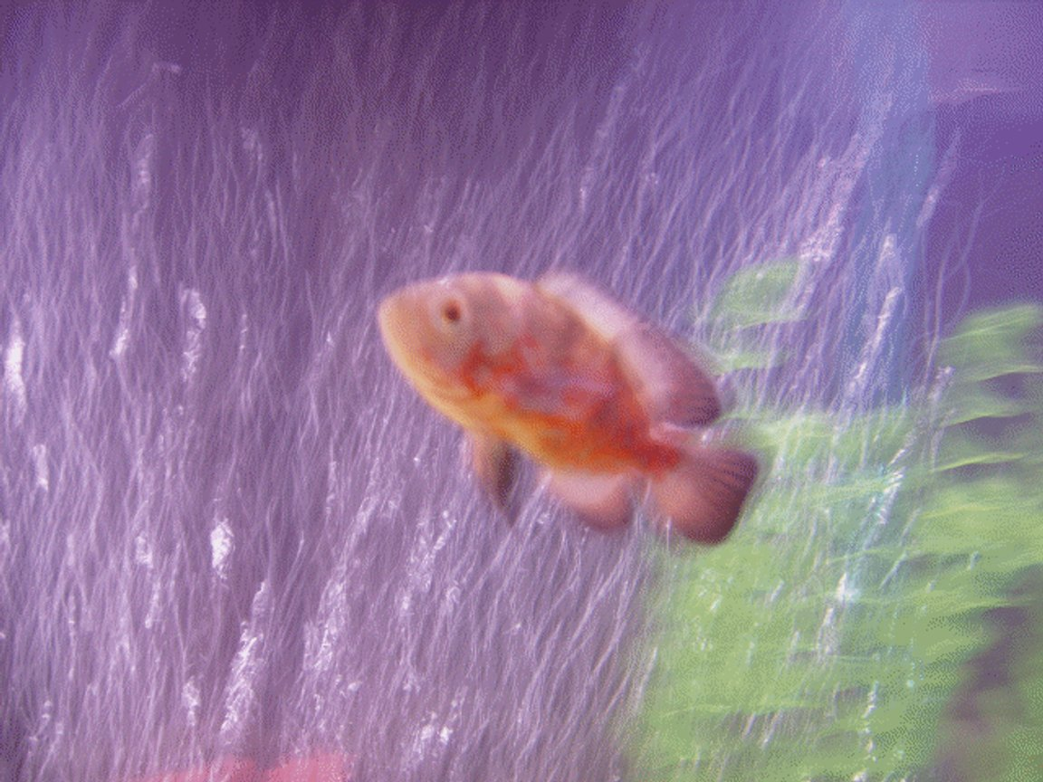 freshwater fish - astronotus ocellatus - albino oscar stocking in 60 gallons tank - Jerry my oscar:) still a baby