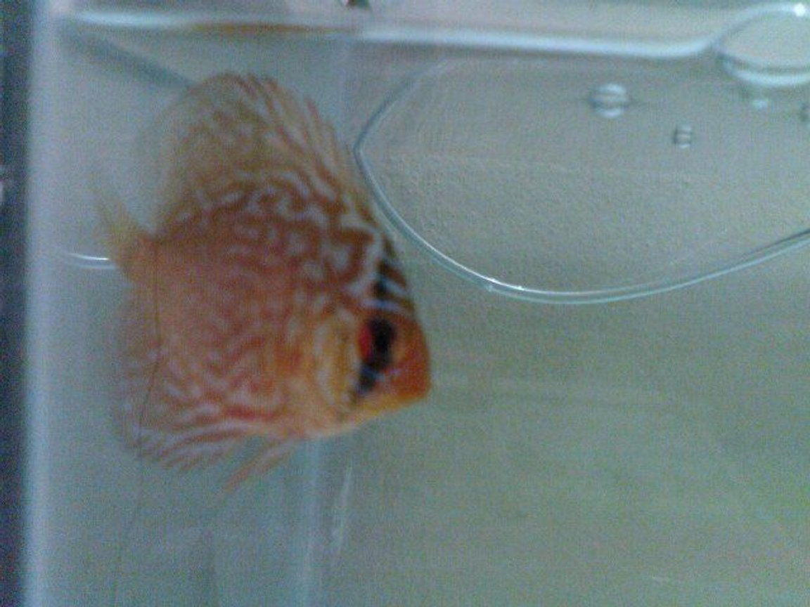 freshwater fish - symphysodon sp. - red panda discus stocking in 50 gallons tank - discus