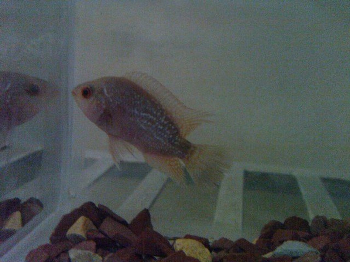 freshwater fish - cichlasoma sp. - flower horn cichlid stocking in 50 gallons tank - cute baby albino flowerhorn