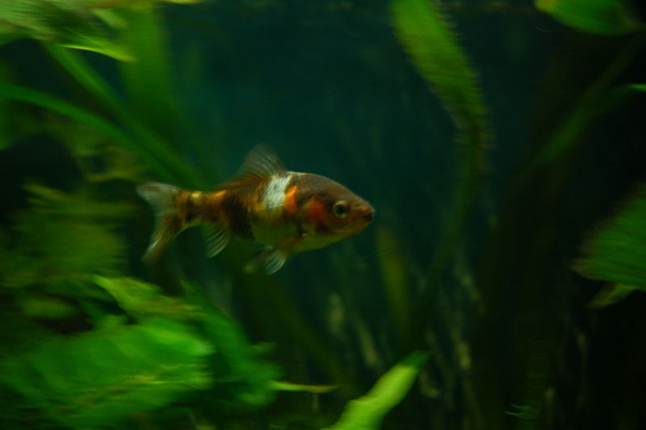 freshwater fish - carassius auratus - shubunkin stocking in 11 gallons tank - My Shubunkin Goldfish, Gerry