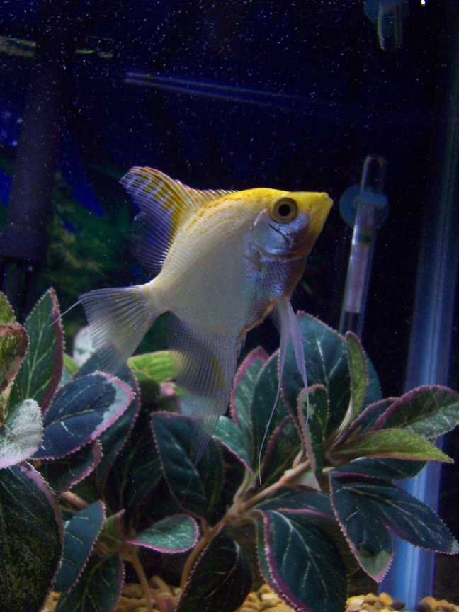 freshwater fish - pterophyllum sp. - white blushing angel stocking in 55 gallons tank - one of my angelfish