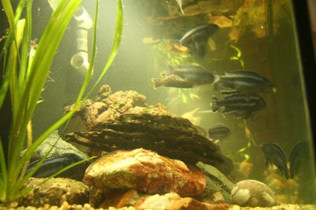 freshwater fish - melanochromis cyaneorhabdos - maingano cichlid stocking in 250 gallons tank - more fish