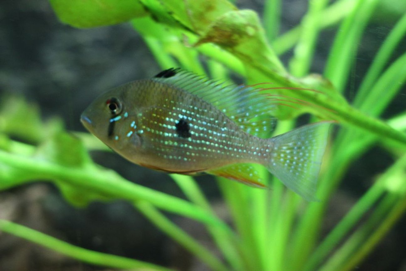 freshwater fish - acarichthys heckelii - thread-finned cichlid stocking in 350 gallons tank - Heckeli