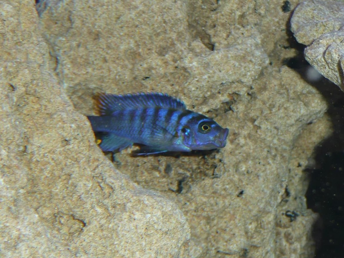 freshwater fish - pseudotropheus saulosi - saulos's mbuna stocking in 50 gallons tank - My Fish Pseudotropheus Salousi PLEASE COMMENT IF ID IS WRONG