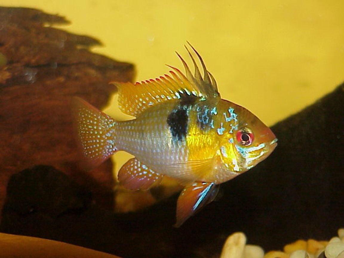 freshwater fish - papiliochromis ramirezi - german blue ram stocking in 40 gallons tank - Blue Male Ram - Breeding Colours