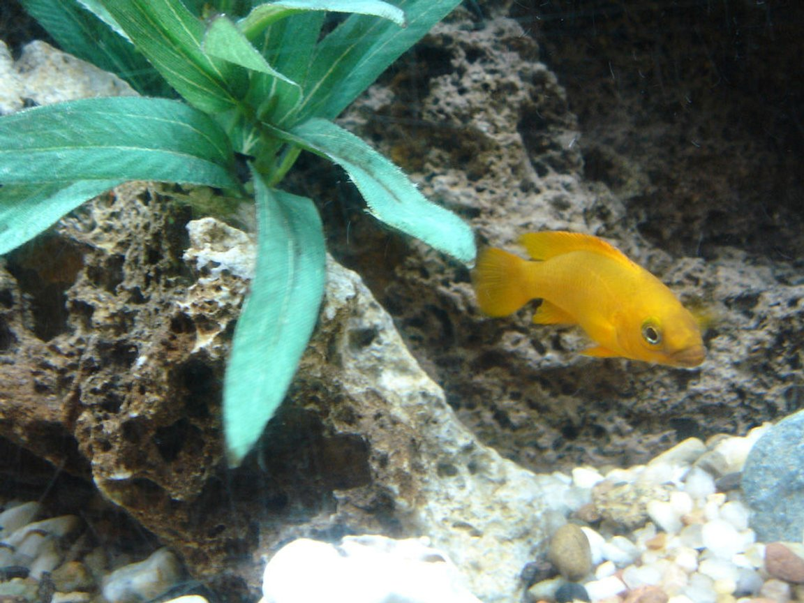 freshwater fish - neolamprologus leleupi - orange leleupi cichlid stocking in 60 gallons tank - My Leleupi that resides in my peacock tank. He although only 3 inches holds his own very well in the tank among bigger cichlids.