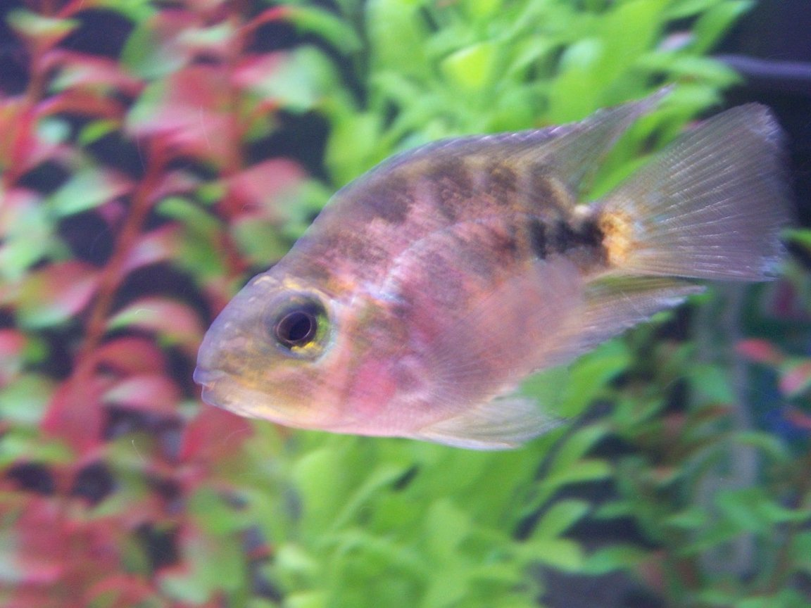 freshwater fish - hoplarchus psittacus - parrot cichlid stocking in 55 gallons tank - parrot fish cichlid
