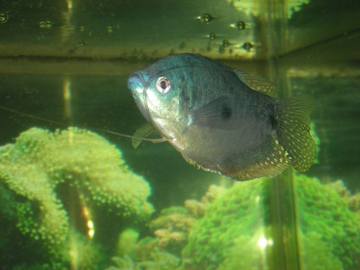 freshwater fish - trichogaster trichopterus - blue gourami stocking in 75 gallons tank - male blue gourami