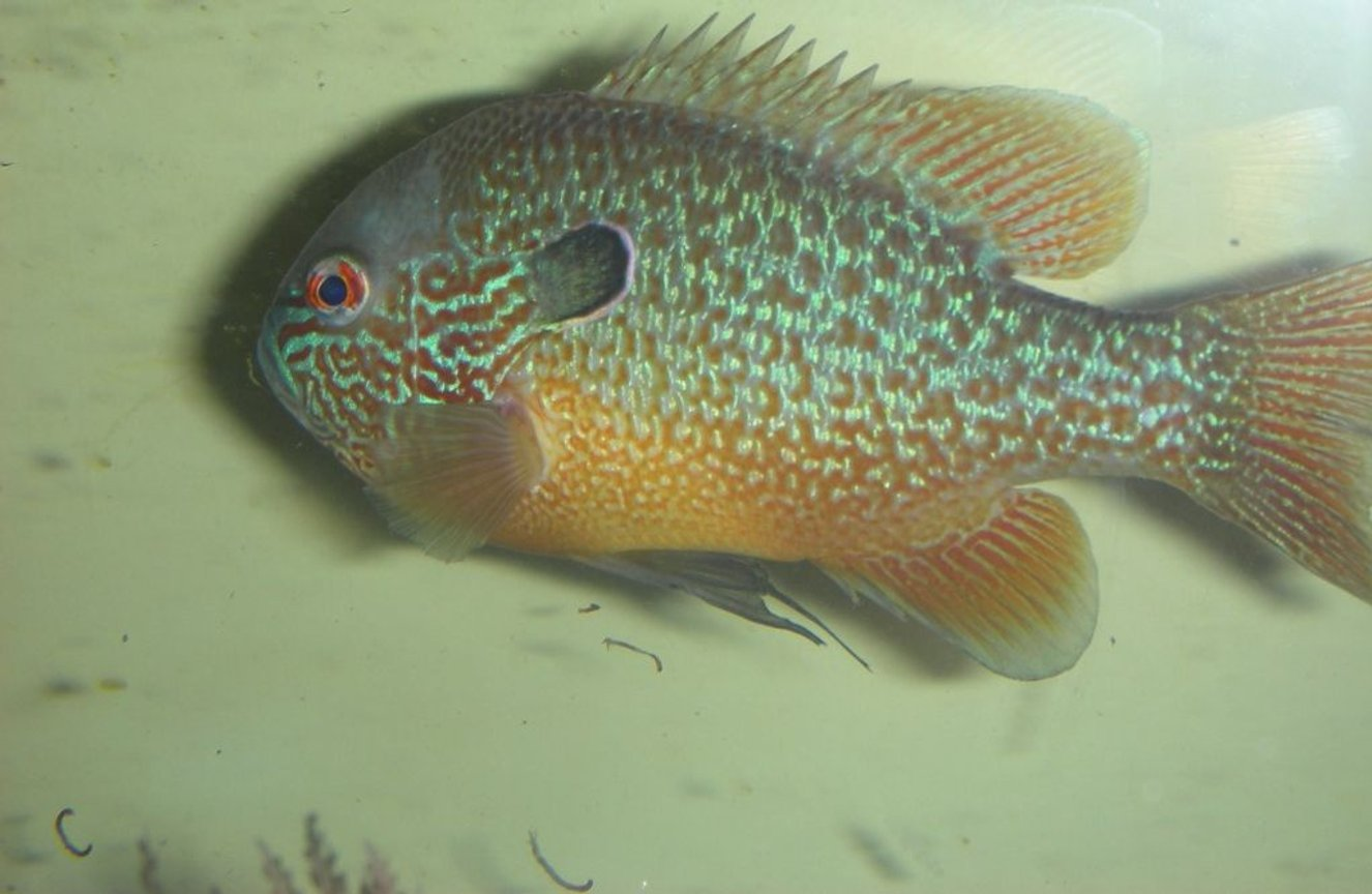 freshwater fish - lepomis megalotis - longear sunfish stocking in 75 gallons tank - wild long ear sunfish eating bloodworms