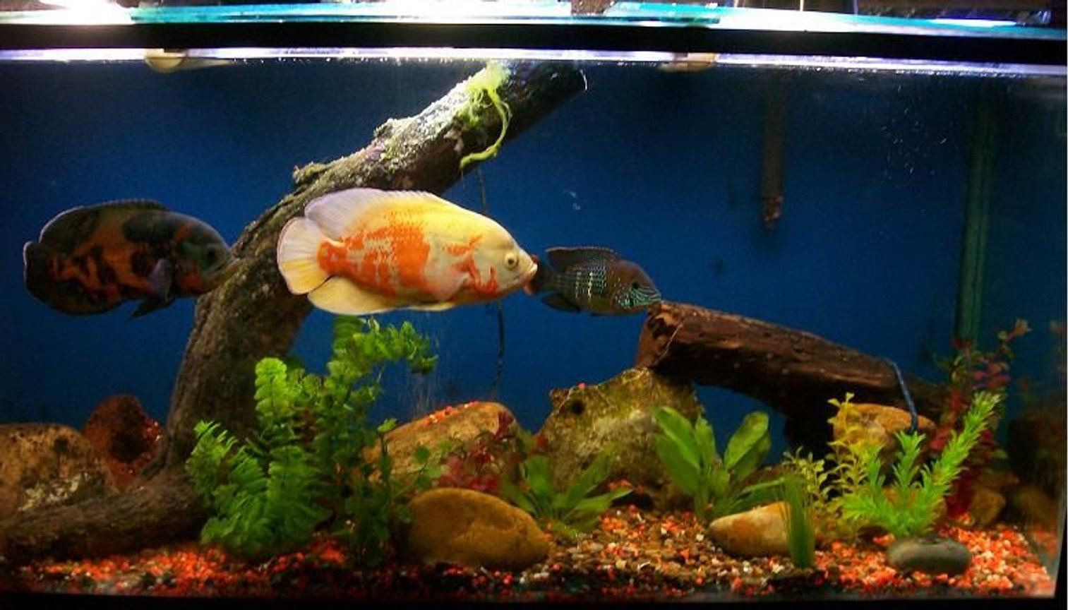 freshwater fish - astronotus ocellatus - albino oscar stocking in 120 gallons tank - i have 2 oscar fishes and a green terror cichild the tank dimensions are 140 large 60 tall and 50 wide all cm lighting : is flurecent light around 220 watts Filtration Aqua clear 70 filter