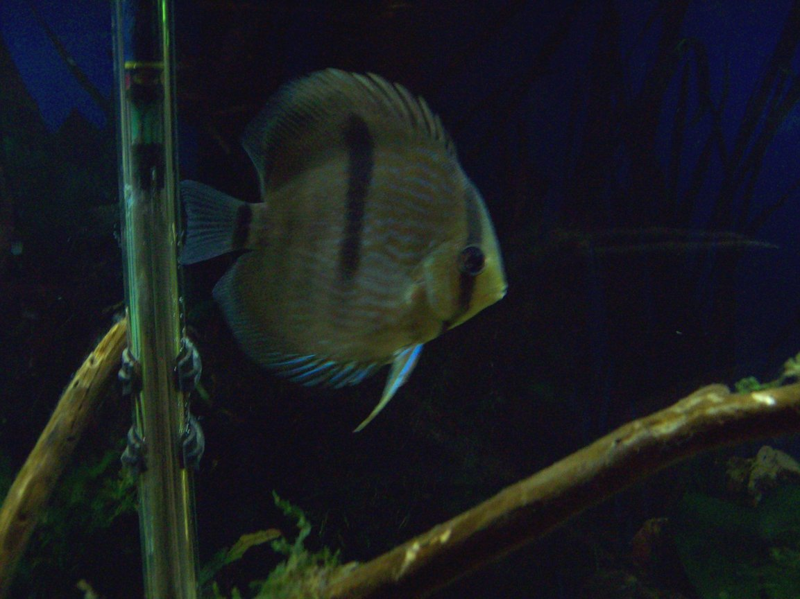 freshwater fish - symphysodon discus - blue heckel discus stocking in 55 gallons tank - Blue Heckel Discus